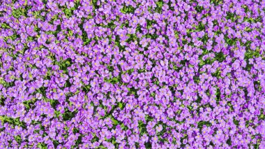 Sunlight glade with a lot of small purple Aubrieta flowers