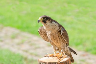 Trained domesticated for hunt raptor bird hawk or falcon