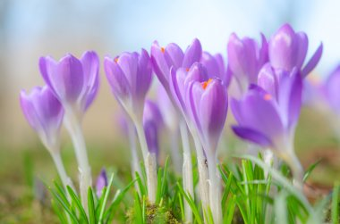 Beautiful spring crocus flowers on sunlit Alpine glade