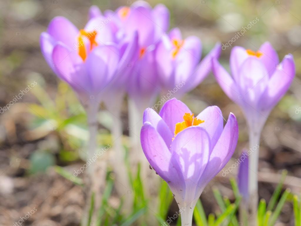 Crocus spring blooming violet flowers on Alpine meadow