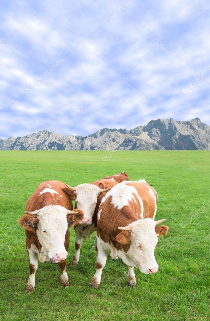 Group of cows calves grazing against Alps mountains pasture land
