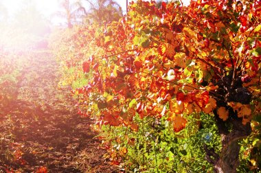 Rows of grape vines with autumn leaves at sunset