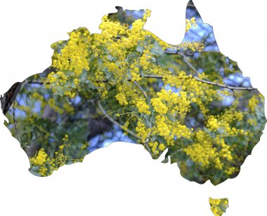 Map of Australia with wattle tree in flower