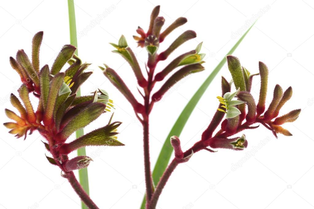 La Fleur De L Ouest Australien Rouge Et Vert Kangourou