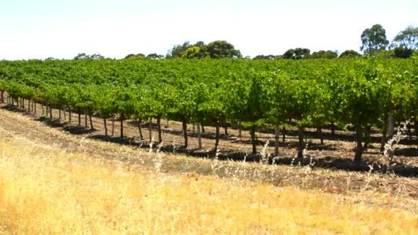 Řádky z vinice, v Barossa Valley, Jižní Austrálie.