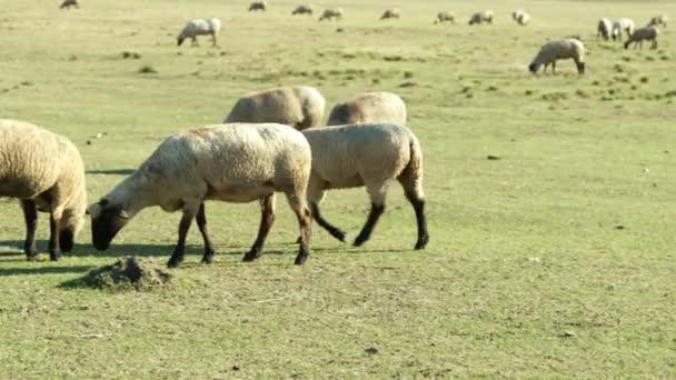 Pfanne zu Schafen, die auf einer Weide grasen