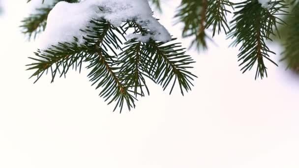 Egy fenyőág hófúvással a szélben a téli erdőben. Közelkép