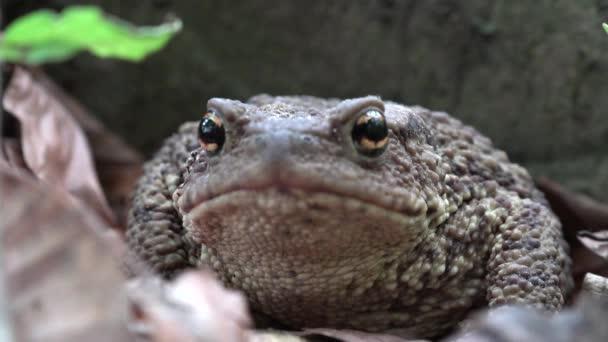 Frosch im Wald Nahaufnahme, Kröte Sonnenbaden in Blättern, Tiere Gesicht Makro-Ansicht in Holz