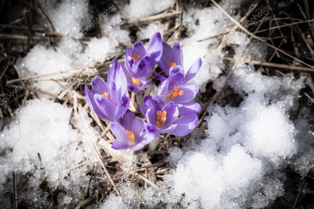 243d220dc0 Fialový květ - crocus — Stock Fotografie © jarino  68747449