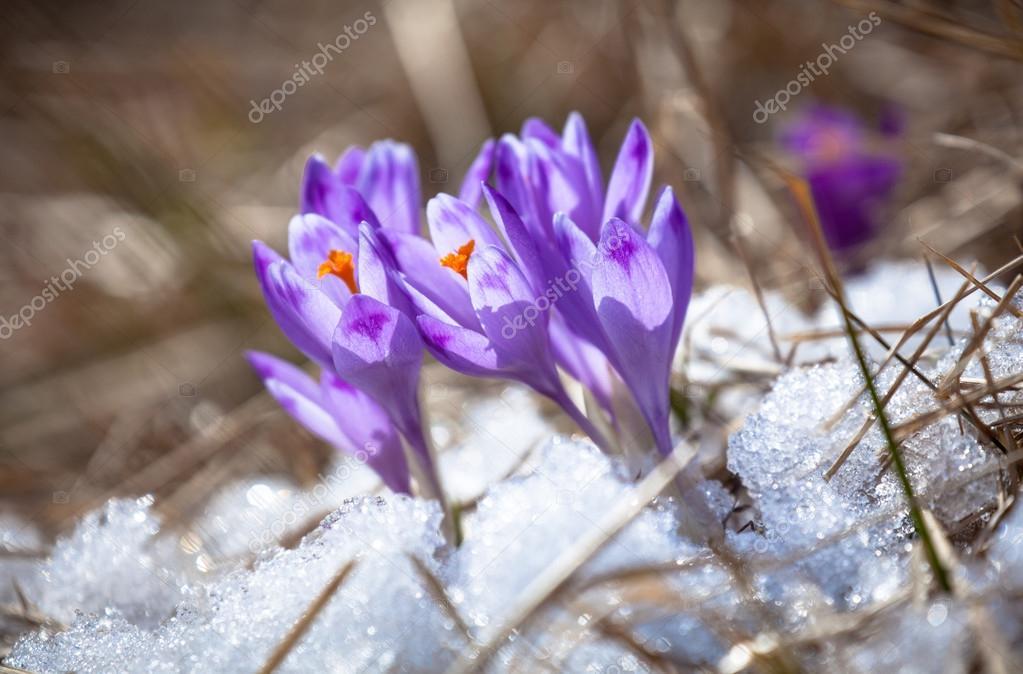 991fbea82d Fialový květ - crocus — Stock Fotografie © jarino  68747543