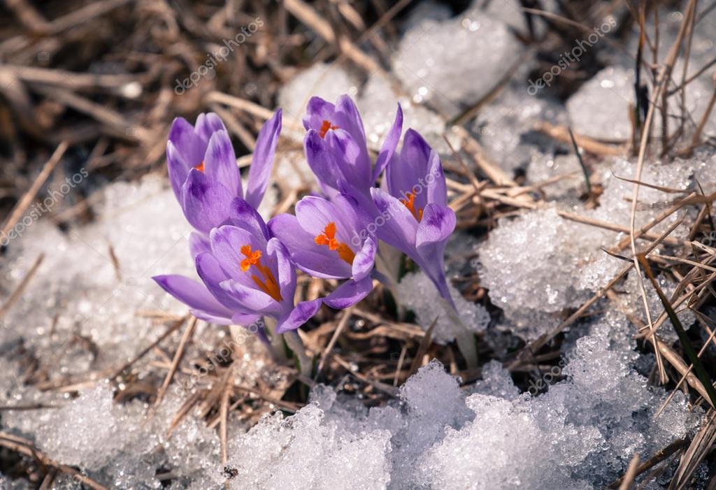 a53a6be0c3 Fialový květ - crocus — Stock Fotografie © jarino  68747891