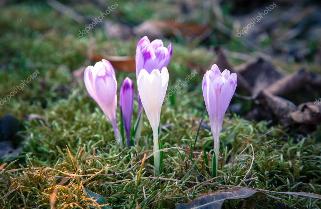 52c9bb4423 Fialový květ - crocus — Stock Fotografie © jarino  68748685