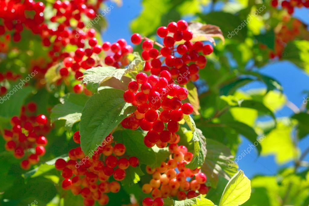 Ganz und zu Extrem Rote Beeren-Baum — Stockfoto © olena2552 #119231644 &RY_87