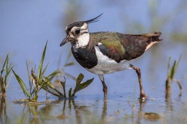 Crested Female Northern lapwing