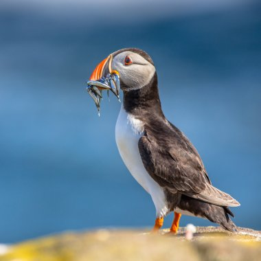 Puffin with fish in beak