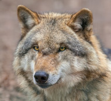 Close up of a Dangerous Grey Wolf
