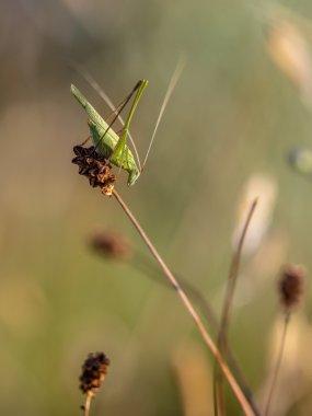 Sickle-bearing Bush Cricket (Phaneroptera falcata) in a Grass Fi