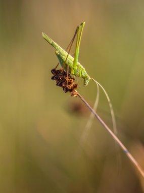 Sickle-bearing Bush Cricket (Phaneroptera falcata) in a Dry Gras
