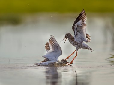 Two fighting Male Common Redshank