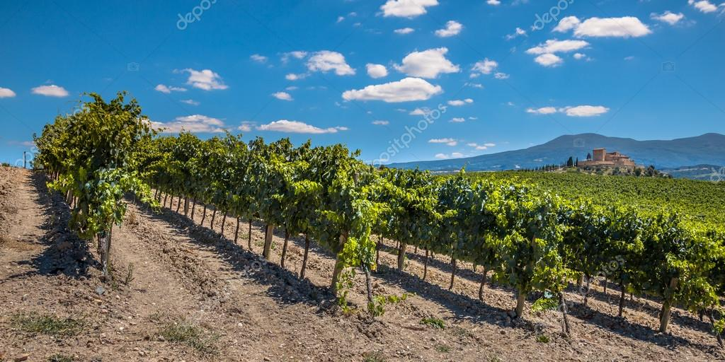Panorama of a Vineyard in Rows at a Tuscany Winery Estate, Italy
