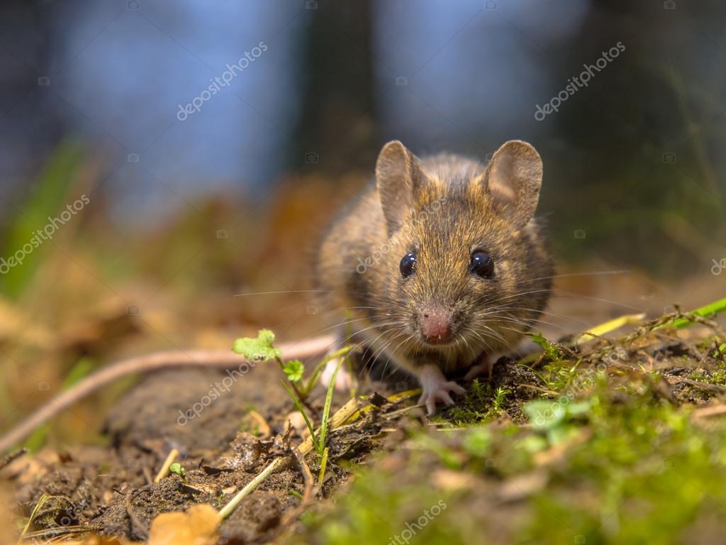 "Результат пошуку зображень за запитом ""польові миші"""