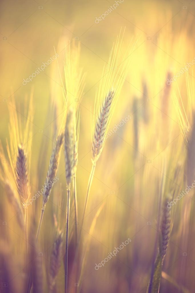 Golden Color Blurred Wheat Background Stock Photo