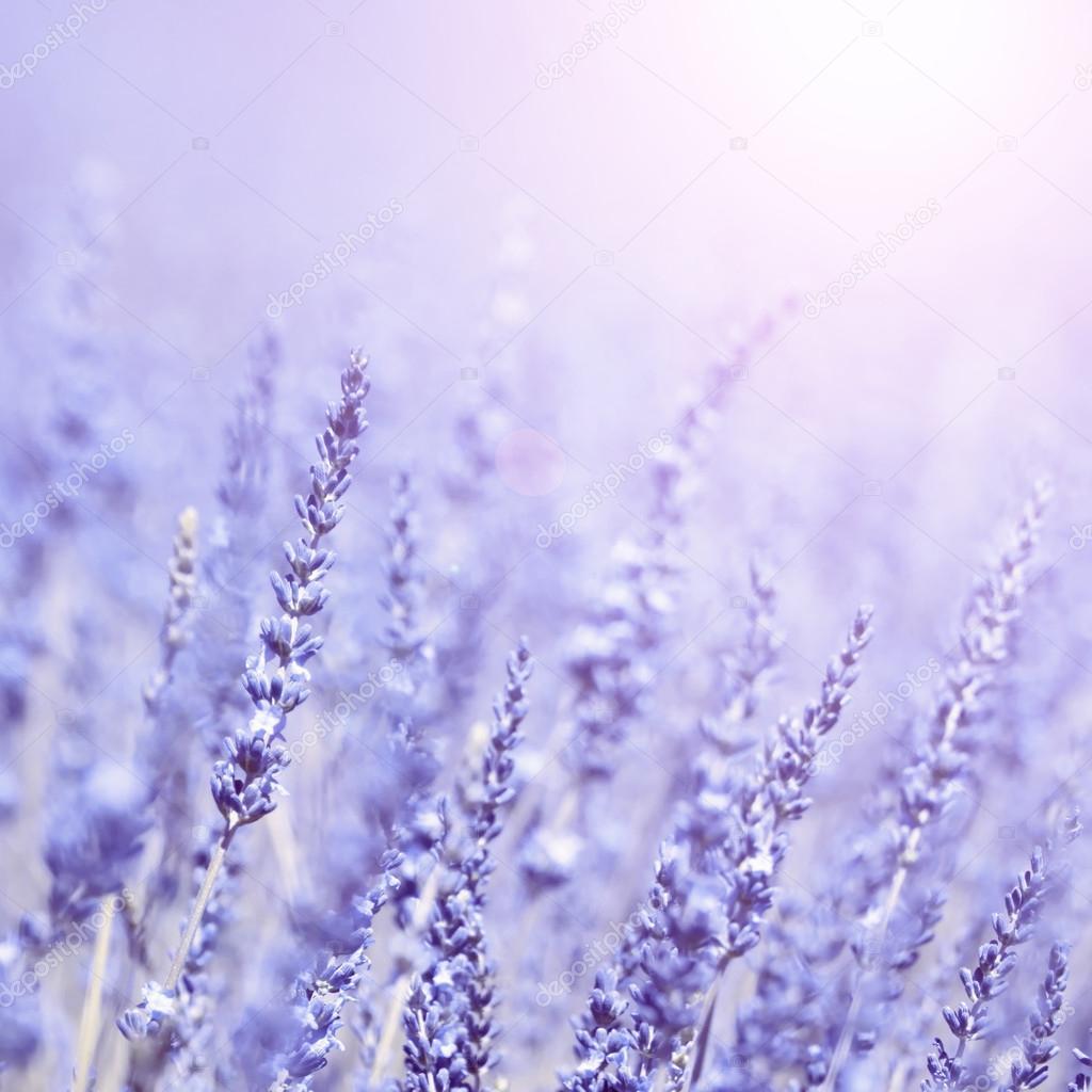 lavender flower background images wwwpixsharkcom