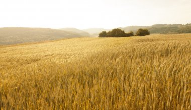 Lovely golden color sunny wheat field landscape