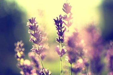 Lavender vintage sunset