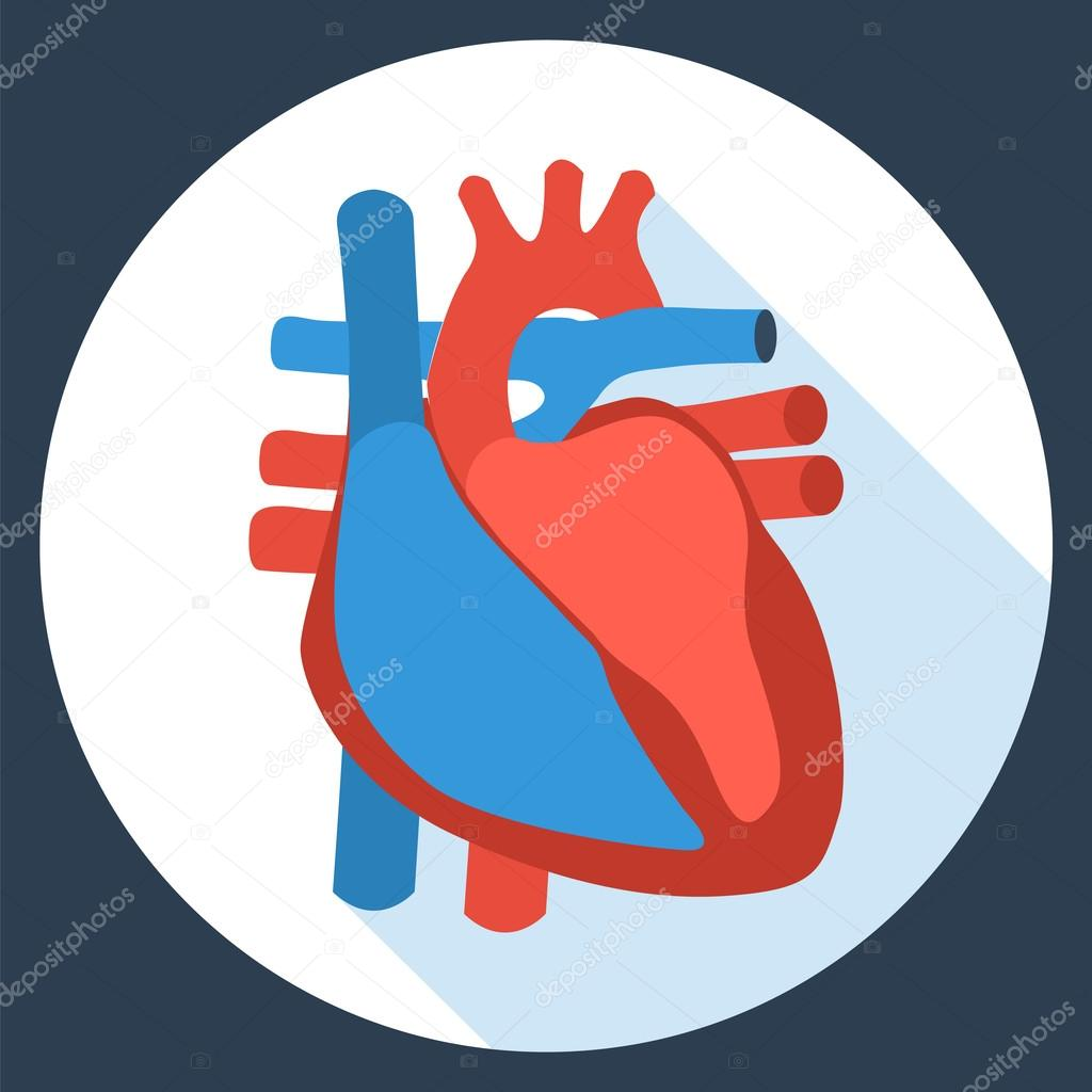 Flaches Design-Ikone der Anatomie des menschlichen Herzens ...