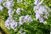Modrá Africká lilie (Agapanthus africanus) v Japonsku
