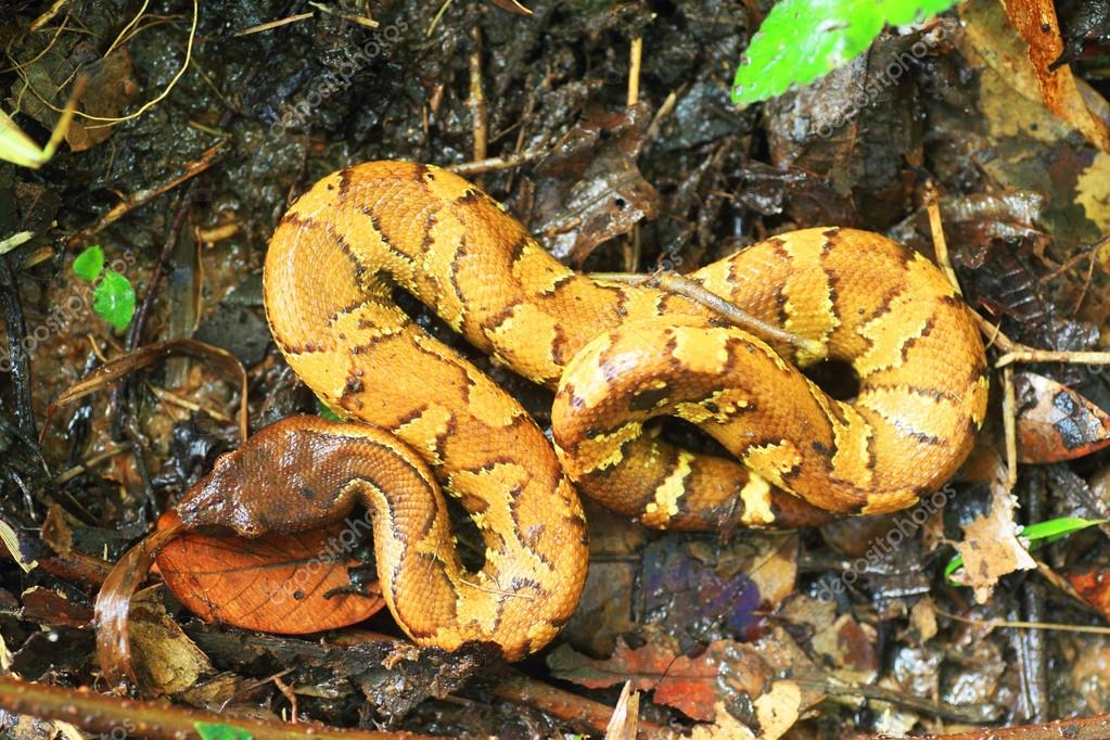 New Guinea Ground Boa (Candoia aspera) in Manus Island, Papua New Guinea