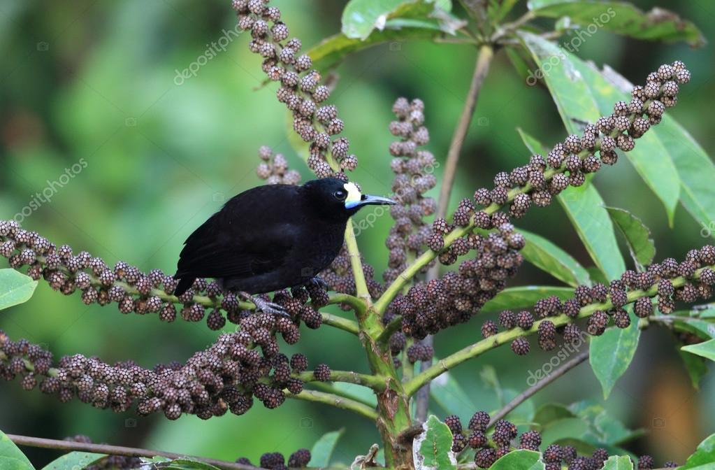 Short-tailed Paradigalla (Paradigalla brevicauda) in Papua New Guinea