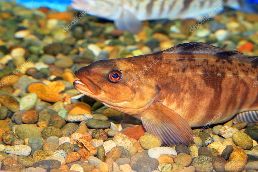 Arabesque greenling or Okhotsk atka mackerel (Pleurogrammus azonus) in Japan