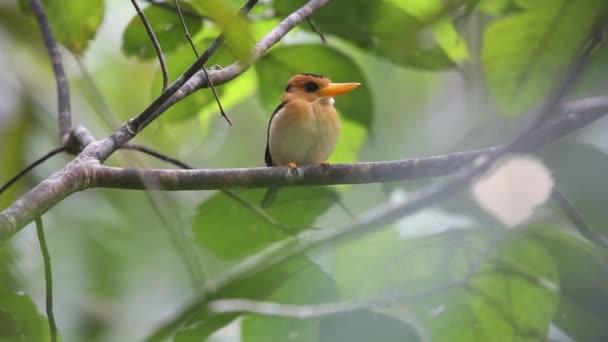 Amazonský Kingfisher (Syma torotoro) v Papua-Nová Guinea