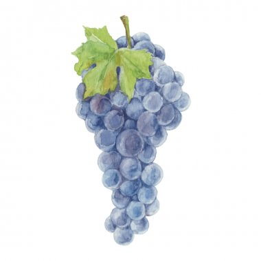 Watercolor Grapes isolated