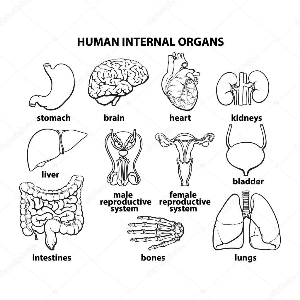 The internal organs of man, set — Stock Photo © Sabelskaya #108308010