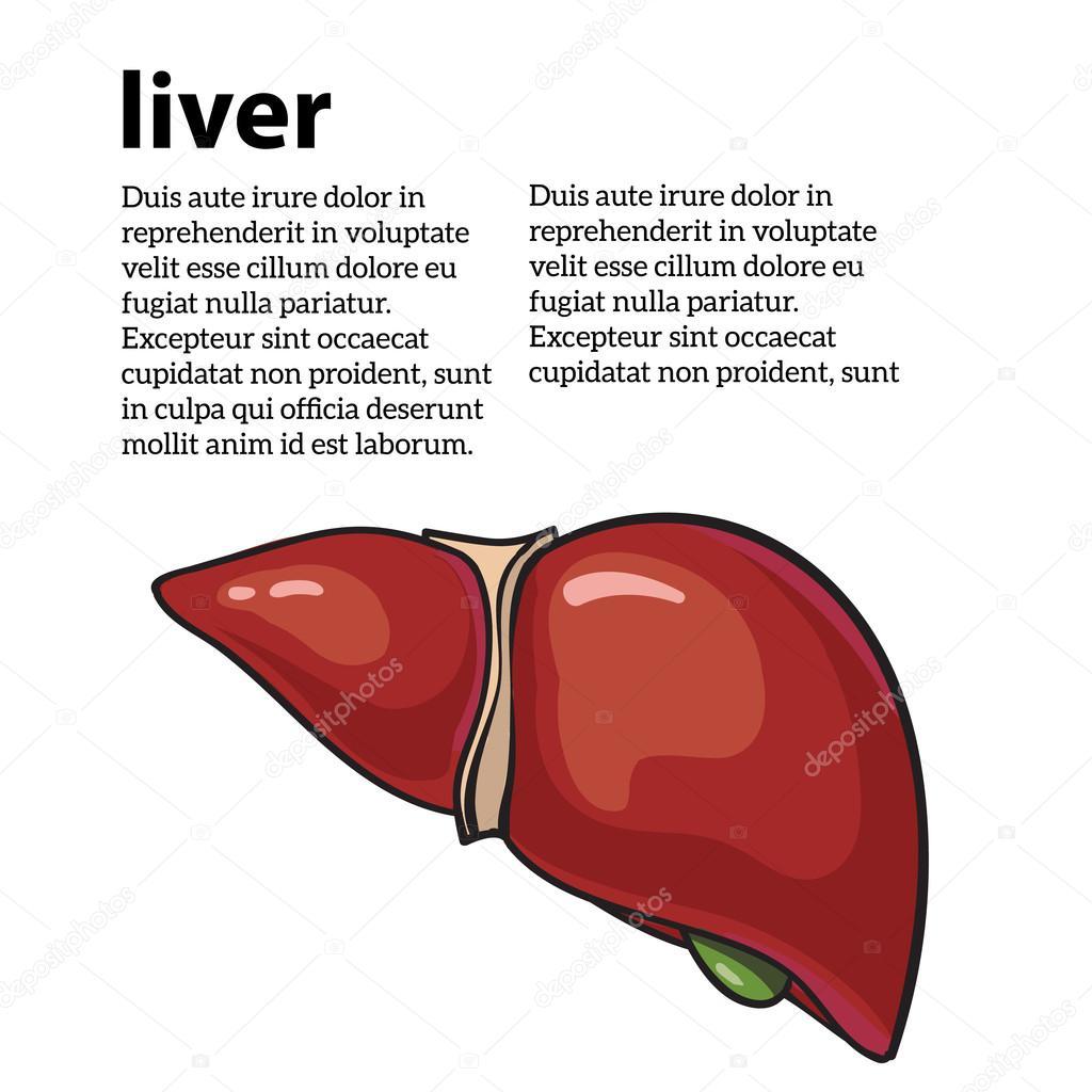 hígado humano sano — Archivo Imágenes Vectoriales © Sabelskaya ...