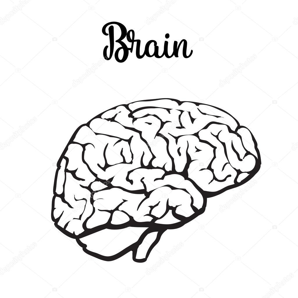 Farbe-Nahaufnahme des menschlichen Gehirns — Stockvektor ...