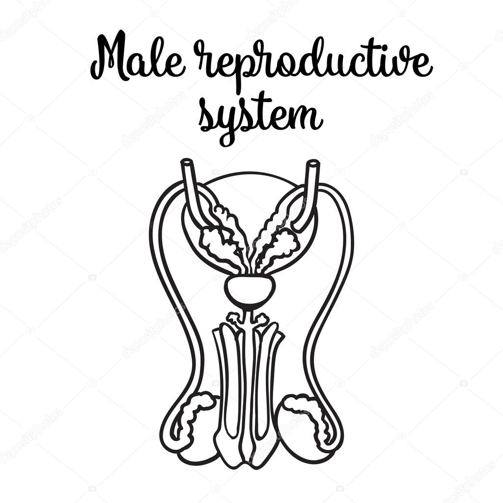 Male reproductive system — Stock Vector © Sabelskaya #114195836