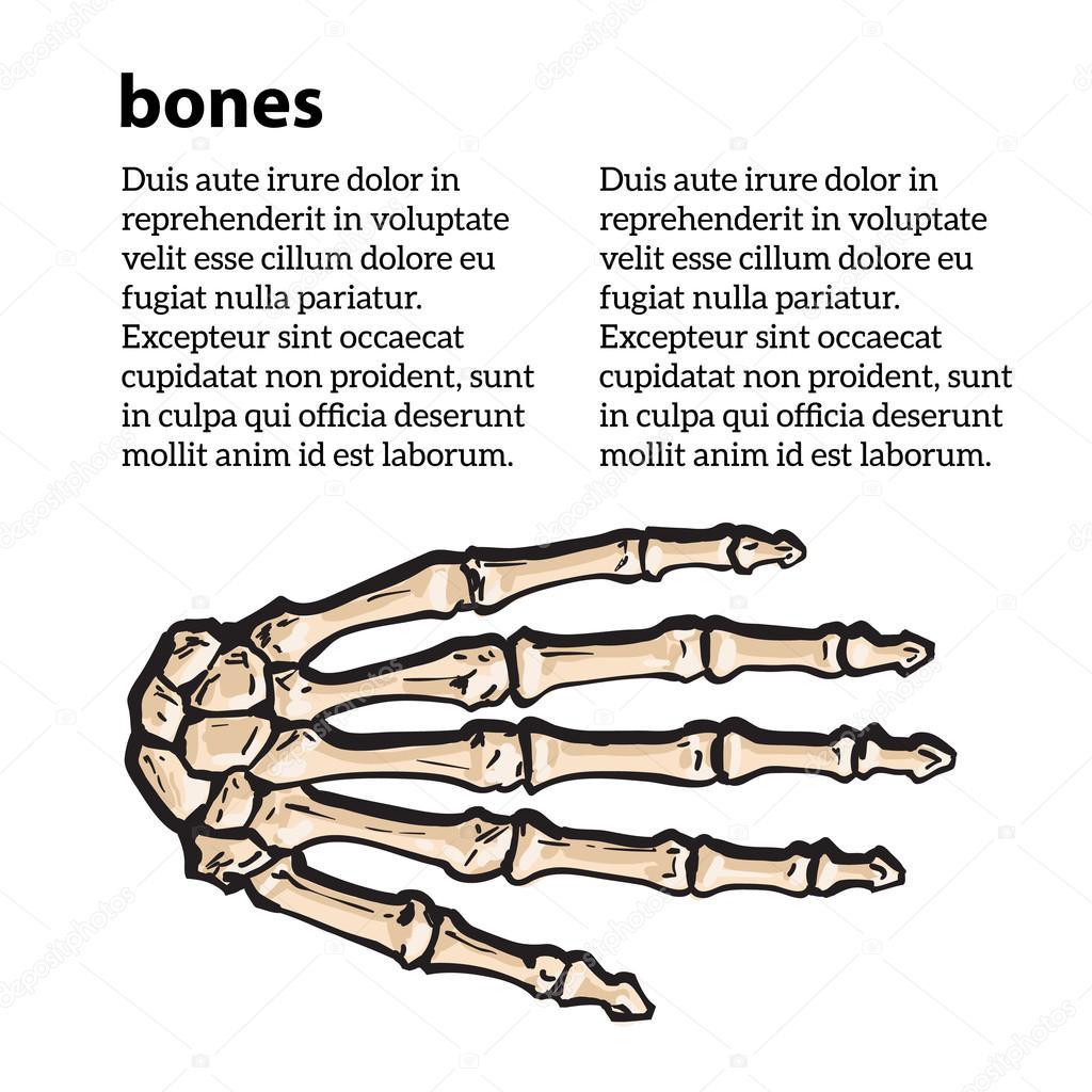 ilustración médica exacta de los huesos de la mano — Archivo ...