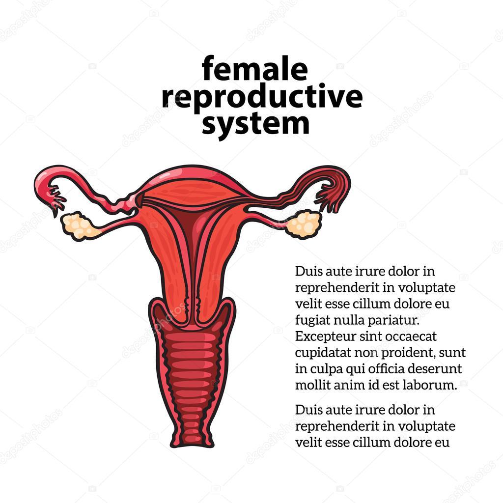 weibliche Fortpflanzungssystem — Stockfoto © Sabelskaya #115458496