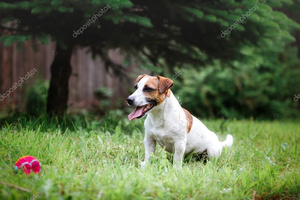 Jack Natur Hunderasse Russell Auf Geht Die Terrier f7y6vYbg