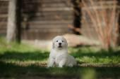 Kleinen Hund Golden retriever