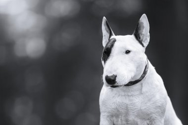 Dog Bull Terrier walking in the park