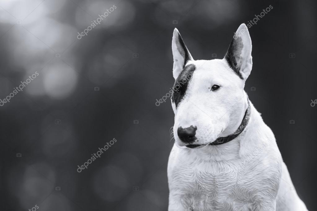 Dog Bull Terrier walking in the park