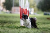 Fotografie Dog Agility slalom