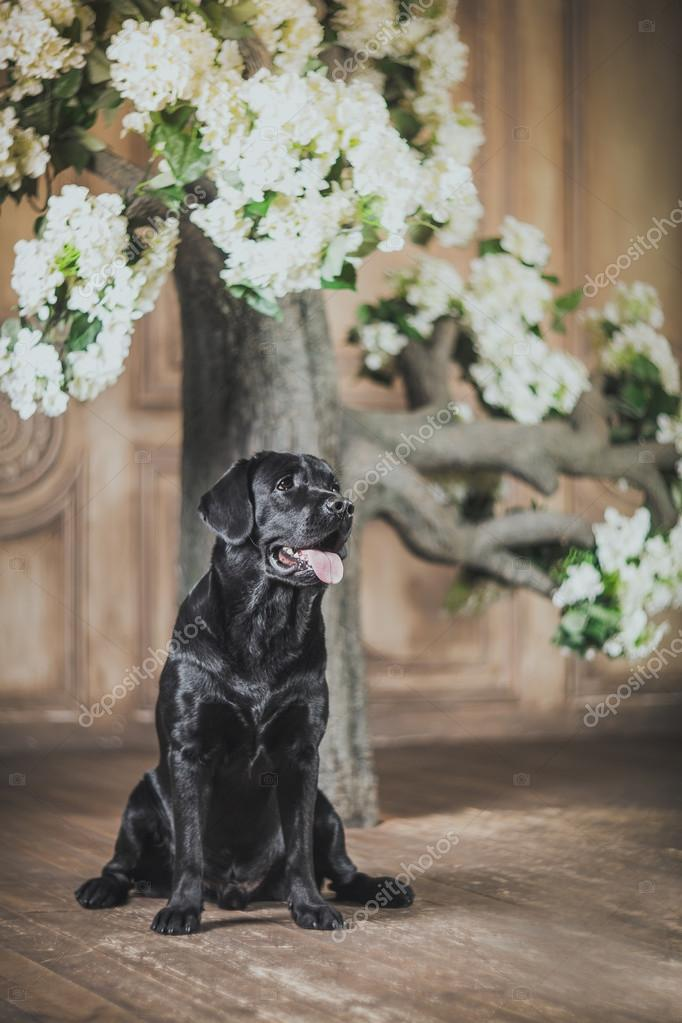Dog, Labrador, interior, flowers, beautiful