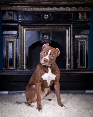 Dog breed American Pit Bull Terrier