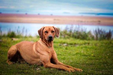 Dog breed Rhodesian Ridgeback